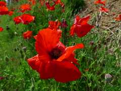 Poppy favorites