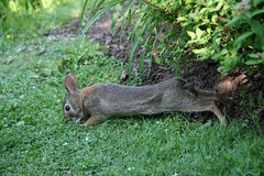 rabbit stretch