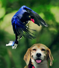 #446  Pup! Watch Out! (John&Fish) Tags: wild bird nature wow searchthebest taiwan best mywinners abigfave ishflickr naturewatcher happinessconservancy spiritofphotography flickrlovers globalbirdtrekkers 100commentgroup goldenart