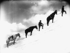 Climbing Muellers Peak, Summer (Powerhouse Museum Collection) Tags: horses horse mountain snow clouds climb cowboy hike hiker mule powerhousemuseum xmlns:dc=httppurlorgdcelements11 climbingmountain onatrail blackandwhi dc:identifier=httpwwwpowerhousemuseumcomcollectiondatabaseirn27861