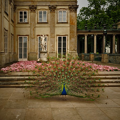 ~ Beautiful Peacock - Beautiful Flowers - Beautiful Sculpture and Beautiful Architecture ~ (Peem (pattpoom)) Tags: park flowers sculpture architecture nikon poland polska peacock palace warsaw warszawa d700 theperfectphotographer explorewinnersoftheworld  nikkorafs1424mmf28ged