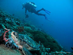 Harmony (terencehonin) Tags: ocean sea coral turtle philippines dumaguete scubadiving diver reef strobe underwaterphotography seasea atlantisresort ys110