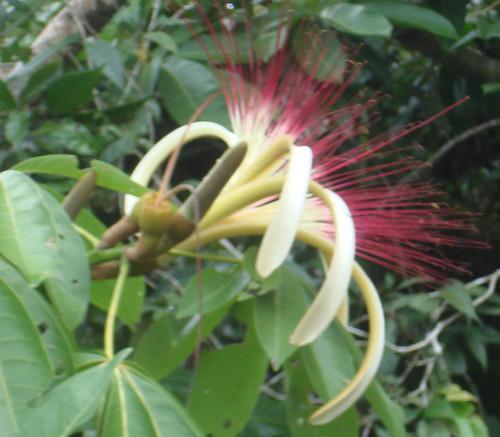 flower costarica pachira