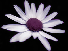First Daisy (SwEeTcHy) Tags: flower macro fleur petals flor daisy margarita marguerite petalos beautifulphoto aplusphoto almostanything flickrestrellas awesomeblossoms