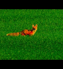 another fox