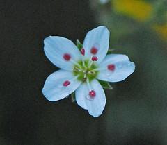 DSZ_04552a (jerryoldenettel) Tags: flower nm wildflower 2009 sandwort arenaria rioarribaco arenariafendleri fendlerssandwort