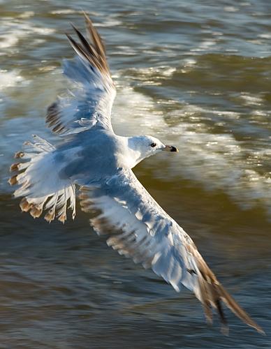 Gull 5959