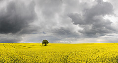 Tree in a Field of Yellow with Darkening Sky (wentloog) Tags: uk sky panorama cloud sun storm tree field yellow wales canon landscape eos countryside interestingness gallery britain pano cymru cardiff stormy explore caerdydd lone 5d lonely agriculture frontpage wfc oilseed ptgui canoneos5d wentloog pantools welshflickrcymru stevegarrington world100f michaelstoneyfedw