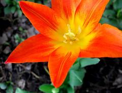 glad tulip (dmixo6) Tags: flowers fleurs garden trillium spring tulips may jardin bloom muskoka lilacs 2010 blooming dmixo6