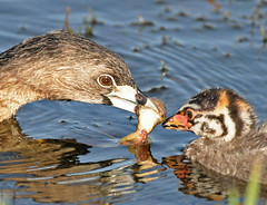 pied-billed grebe chick and parent being fed (Slingher) Tags: nature birds feeding wildlife chick wetlands grebe viera piedbilledgrebe vierawetlands fotocompetition fotocompetitionbronze fotocompetitionsilver