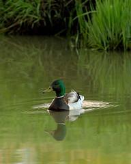 Green Reflections (Dustin Ginetz) Tags: urban canada reflection bird water creek duck wildlife single lone migratory prairie regina saskatchewan waterfowl canonef70200mmf4lusm thechallengefactory greenmallard