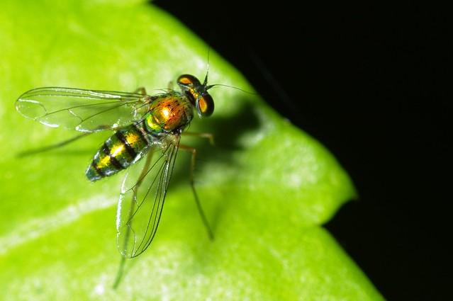 蚊蠅昆蟲微距練習