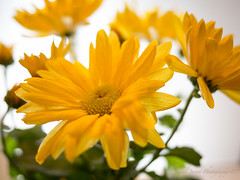 Project 365-#66 (adeel jawed) Tags: flowers yellow daisies backlighting project365 olympusomdem5 lumixg20f17ii