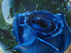 Blue rose (JR2V) Tags: blue flower macro nature rose azul natural zoom venezuela flor rosa caracas bella avila blueribbonwinner platinumphoto diamondclassphotographer flickrdiamond jr2v