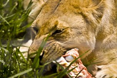 Hungry Lioness (Shek Graham) Tags: nature animals top20np feeding lion shek lioness safaripark cairnswildlifesafaripark