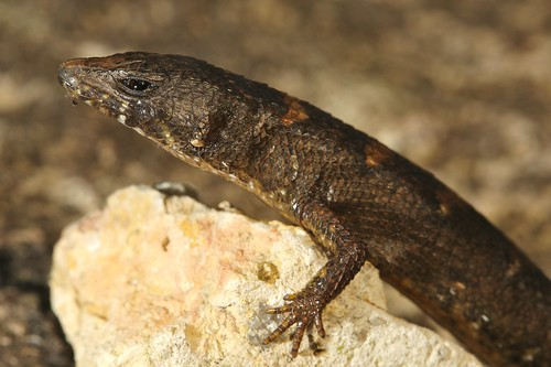 lizard lives in water