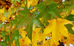 Autumn Leaves (16:10) (bbusschots) Tags: autumn ireland wallpaper green leaves yellow leaf maple maynooth kildare wallpaper1610