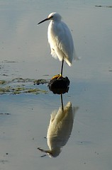 Snowy Egret Reflection (Pat's Pics36) Tags: white reflection bird egret snowyegret sonydscf707 potofgold oneleg parkstock mygearandme rememberthatmomentlevel4 rememberthatmomentlevel1 rememberthatmomentlevel2 rememberthatmomentlevel3 rememberthatmomentlevel5