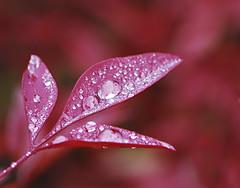 A Handful of Diamonds (dphock) Tags: red macro leaves droplets nandina nikon105mm nikond80 motifdchallengewinner pfogold pfosilver pfoisland