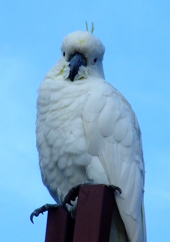 coy cockatoo 02
