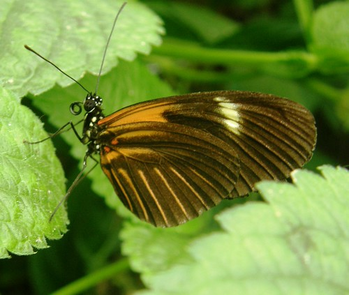 Mindo, mariposa 2
