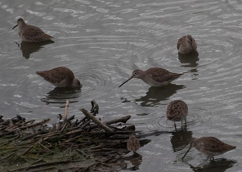 Dowitchers and Least