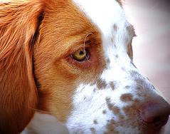Jack Picture (DiEgo bErrA) Tags: dog jack can perro mascota breton blueribbonwinner