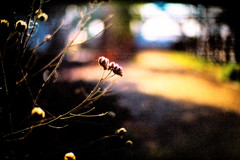 in the morning sunlight (moaan) Tags: life leica light sunlight sunshine 50mm spring still dof shine bokeh f10 mp noctilux alive withered far 2009 wilt kodak400uc stillalive leicamp lookingforthelight explored inlife leicanoctilux50mmf10 springisnotsofar gettyimagesjapanq1 gettyimagesjapanq2