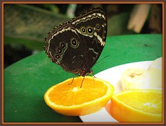 Sucking the Juice (blind_donkey) Tags: vienna macro fruit butterfly austria oneofmypics