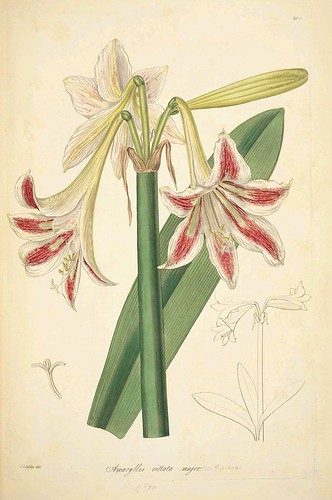 Amaryllis vittata major