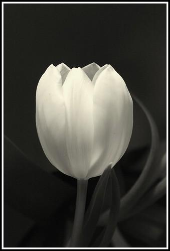 one tulip mono