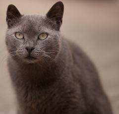 "My russian blue,... ""Diesel"" (D3 Photography) Tags: portrait playing ex cat nikon dof diesel teeth sigma apo fx f28 d3 dg afc russianblue 70200mm shallowdof nikonsigma macroii animalmagicgroup"