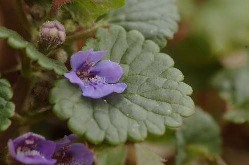 Glechoma hederacea - Hondsdraf, groundivy by AnneTanne (on flickr)