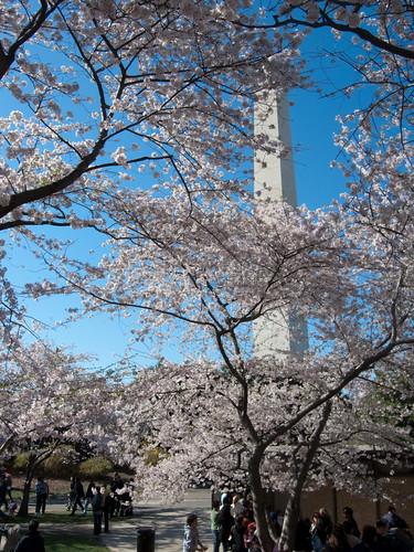 yoshino cherry tree pictures. Yoshino Cherry Tree Blossoms