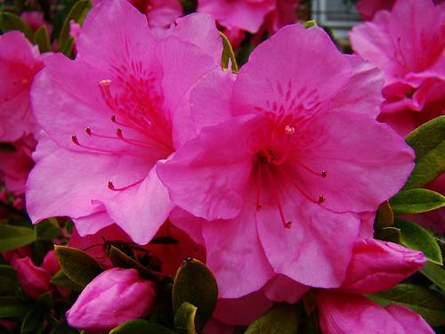 Pink Azalea 4-4-09 006