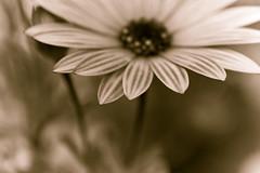 Chromatic Aberration... (SonOfJordan) Tags: bw blur flower macro nature monochrome closeup canon eos petals bokeh amman monotone jordan xsi hbw 450d abigfave  samawi sonofjordan shadisamawi  wwwshadisamawicom