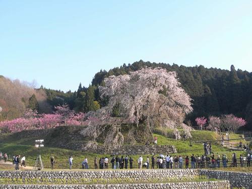 09-04-10【桜】@又兵衛桜-03