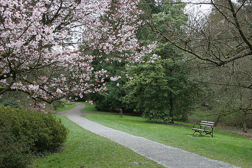 Cherry Blossoms at UW Arboretum
