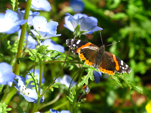 Red Admiral on Nemophila menziesii