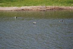 DSC_0653 (softnsultryjazz) Tags: loons walkonwater lopezlake ryry runawayfromhome jewjew