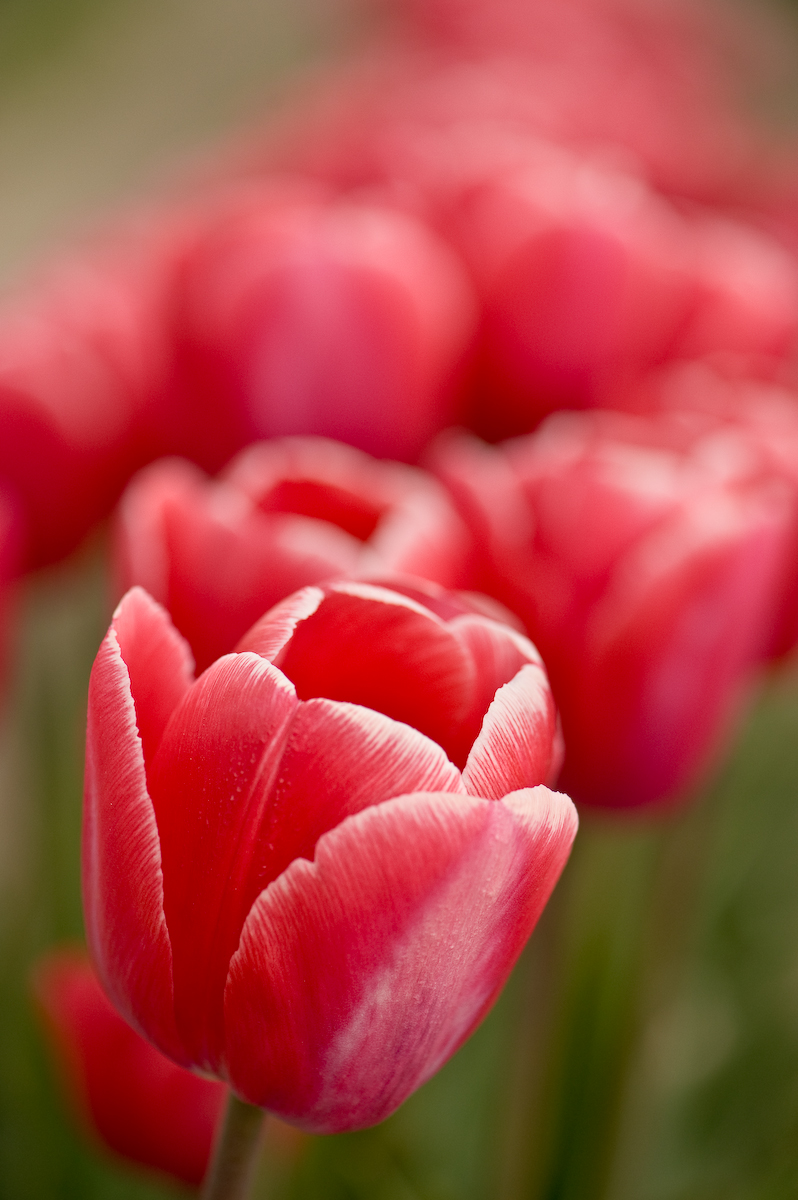 Tulips (8 of 8)