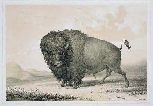 004-Bufalo-George Catlin 1875-1877