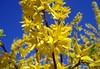(anka.anka28) Tags: blue sky flower yellow explore niebieski kwiat żółty forsycja abigfave theperfectphotographer