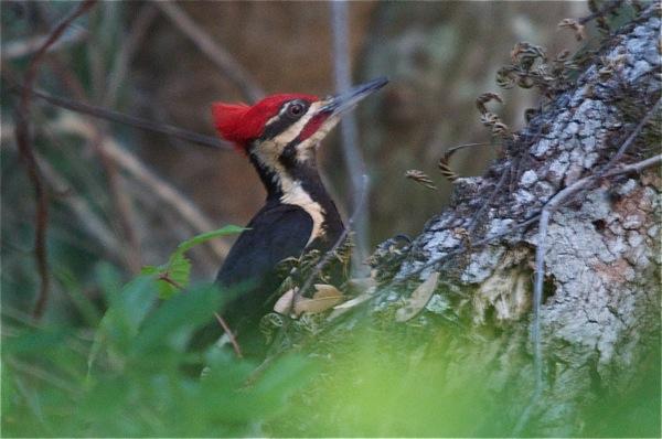 woodpecker_0122