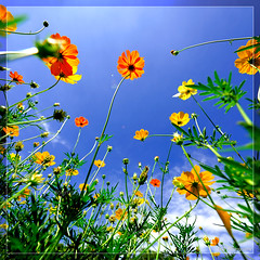 pride (TA.D) Tags: blue sky cloud white flower color green yellow landscape landscapes nikon vivid tad hcm saigon hochiminhcity hcmc hochiminh onblue abigfave colorphotoaward superaplus aplusphoto d700 theunforgettablepictures platinumheartaward alemdagqualityonlyclub