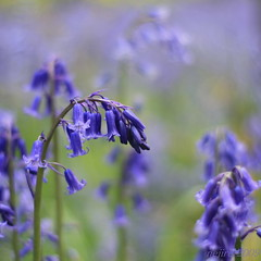 thousands of tiny blue bells :-) (_nejire_) Tags: wood england plant flower green nature bluebells canon eos kent woods flora kiss bokeh walk explore f18 bluebell 2pm carlzeiss 30faves 50faves 10faves 40faves hyacinthoidesnonscripta 25faves nejire 400d eos400d canoneos400d kissx fave10 fave30 pluckly fave50 mhashi fave25 fave40 carlzeissplanart1450ze 7940634g0am 10446754g8am