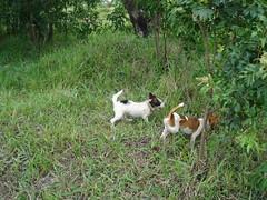 Podengo Crioulo(Brasileiro). 3503065814_fe0223aeca_m