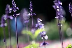 i know why i'm so happy now! (JessieLoTW) Tags: purple bokeh lavender