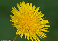 Dandelion Series - Image #1 (SewerDoc (2 million views)) Tags: plant flower macro yellow closeup weed bokeh dandelion bej sewerdoc wonderfulworldofflowers jaredfein