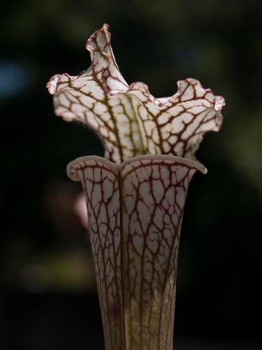 """Sarracenia Leucophylla var. """"Titan"""""""